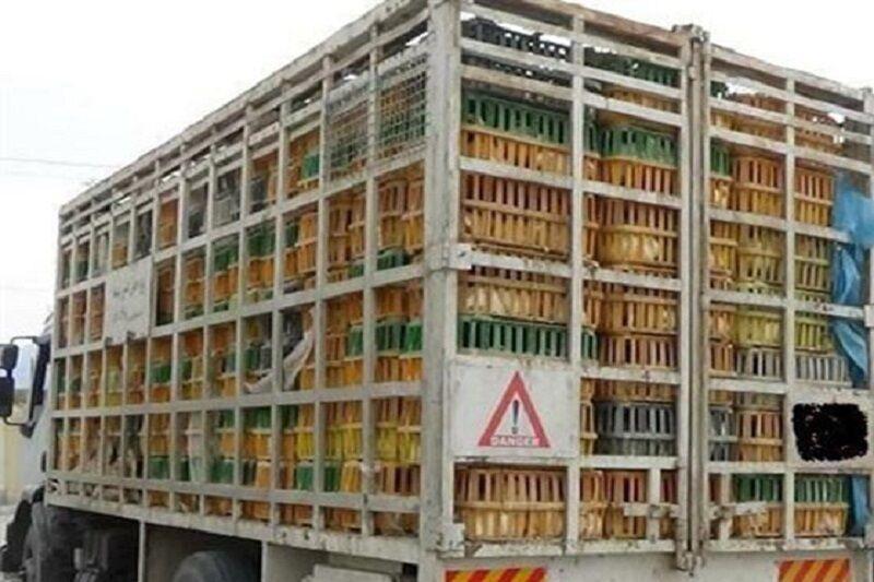 خبرنگاران بیش از 2 هزارو 200 قطعه مرغ و دام سنگین قاچاق در سلطانیه کشف و ضبط شد