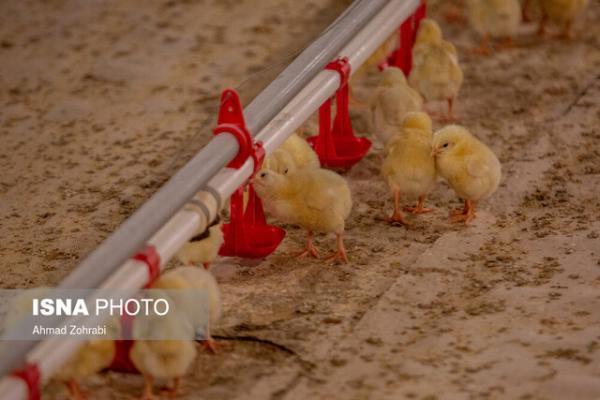 جوجه 8000 تومانی بازارگرمی است، صفر تا صد تولید مرغ رصد می شود